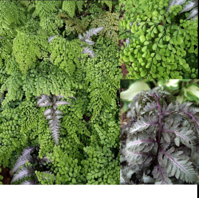 My favourite combination: Adiantum venustum and Athyrium niponicum