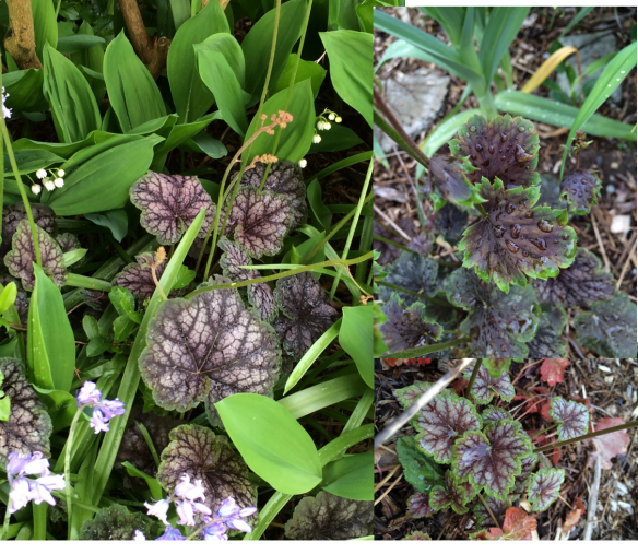 Heuchera, various cultivars that I don't know. But definitely my favourites.