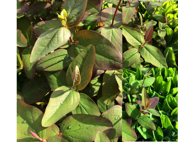 Hypericum androsaemum 'Albury Purple'. Just look at the perfection of the hew growth!