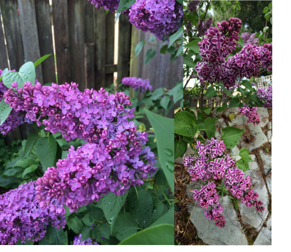 Lilac 'Sensation' is the one with the white edging to each floret. The other is unfortunately unnamed--a runner from a much older tree.