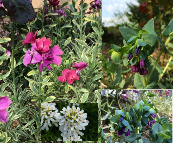Cerinthe, Erysimum, and Iberis. All of them hard to beat!