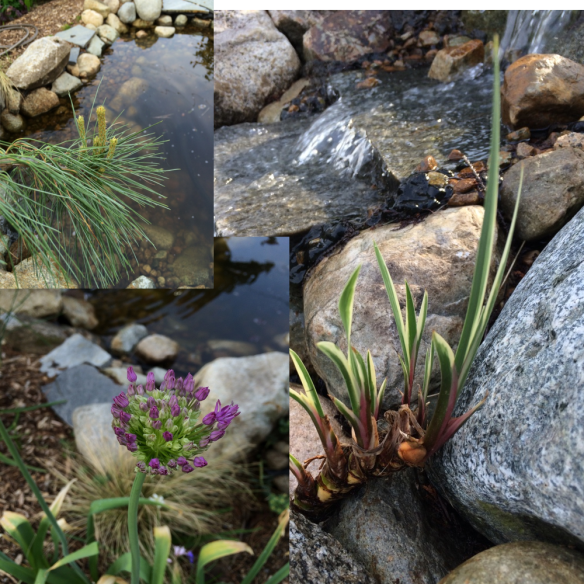 Pinus strobus 'pendula'; Allium 'Purple Sensation', and Acorus calamus 'variegatus'