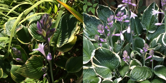 Two no-name hostas