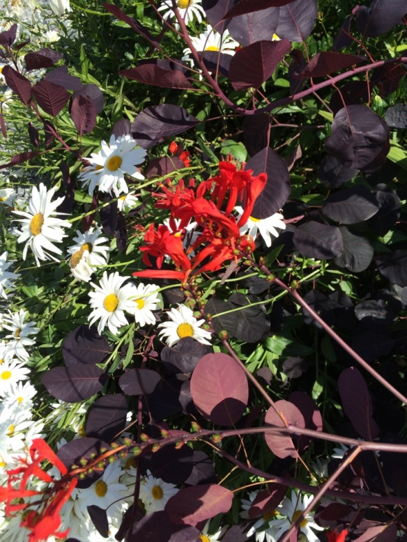 Among my favourite flower combinations: Crocosmia 'Lucifer' with Leucanthrmum x superbum --Shasta Daisy and Cotinus coggygria 'Royal Purople'--smoke Bush