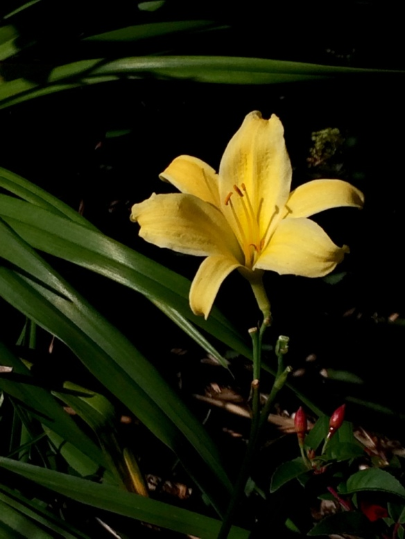 Hemerocallis #4--I love this one--the flower is only about 3'' across but the scape is tall enough to see above all the local foliage