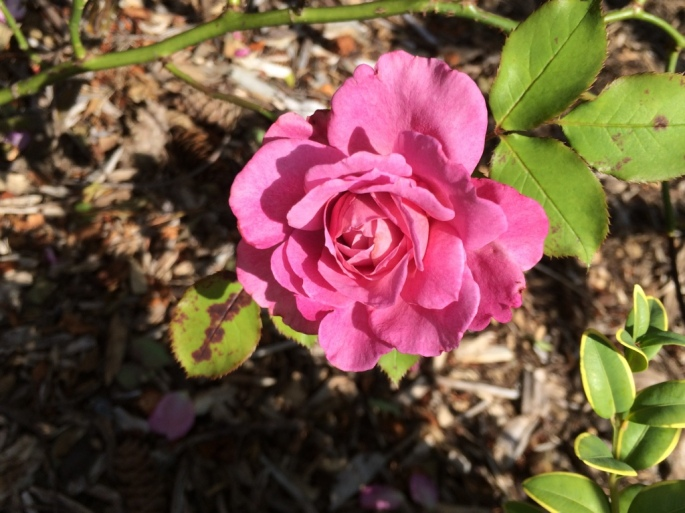 Rose 'Magenta'--pretty colour but terrible shrub; black spot magnet and weak branches I'll give it one more year to perform better