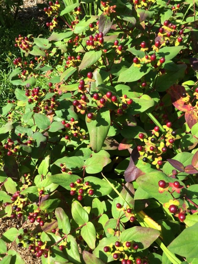 Hypericum 'Albury Purple'--one of my favourite garden plants