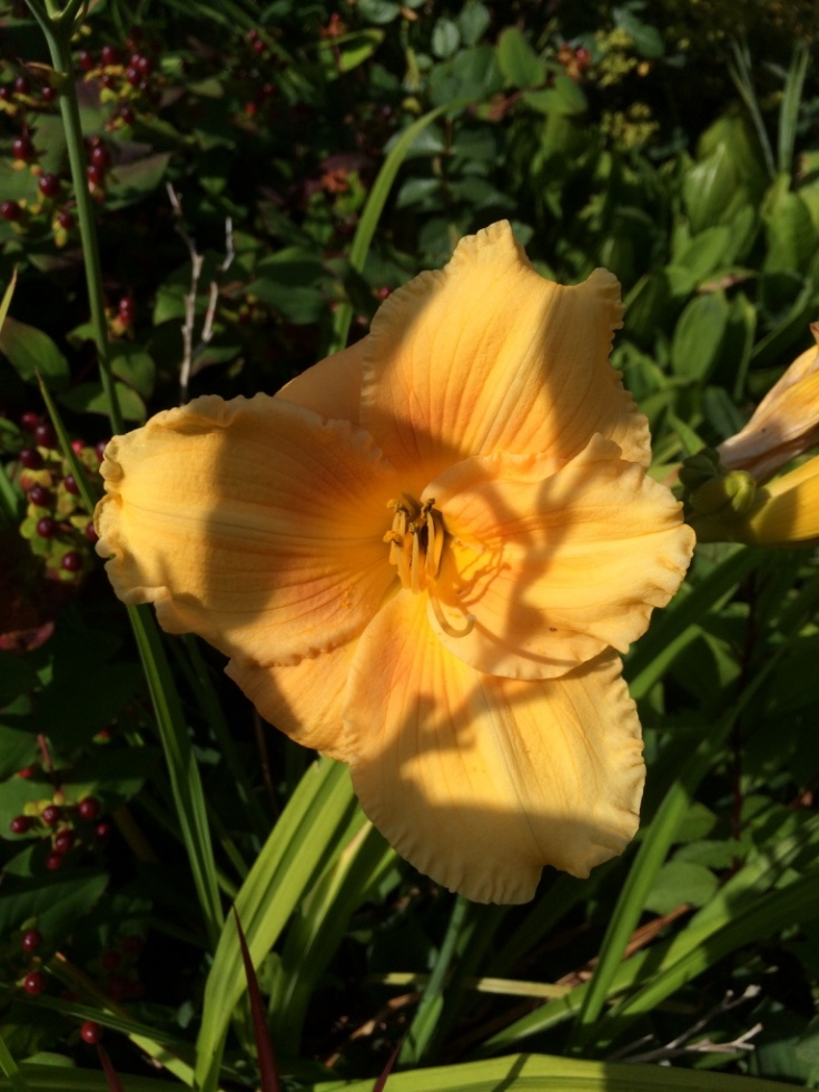 Hemerocallis #6--slightly boring colour but I love the shape and it's been blooming for weeks!