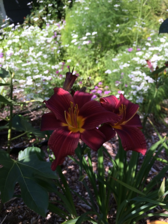 Hemerocallis #7 is my favourite especially when its neighbour the Jude the Obscure Rose is in bloom; which it currently isn't alas