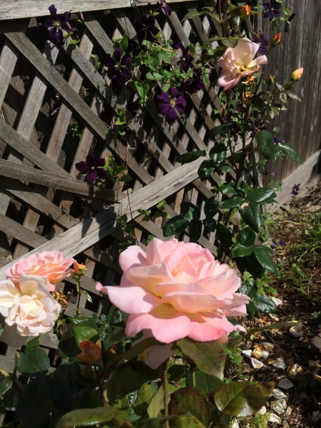 Rose 'Rosemary Harkness' with Clematis jackmanii