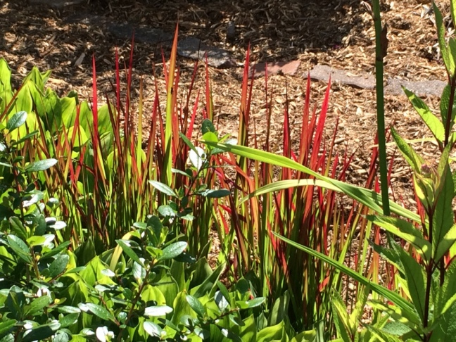 Not blooms but oh so colourful Imperata cylindrica--Japanese Blood Grass