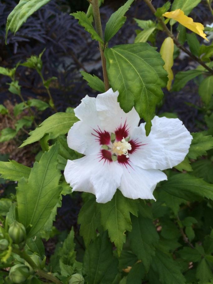 Hibiscus syriacus 'Red Heart'--Hardy Hibiscus aka Rose of Sharon