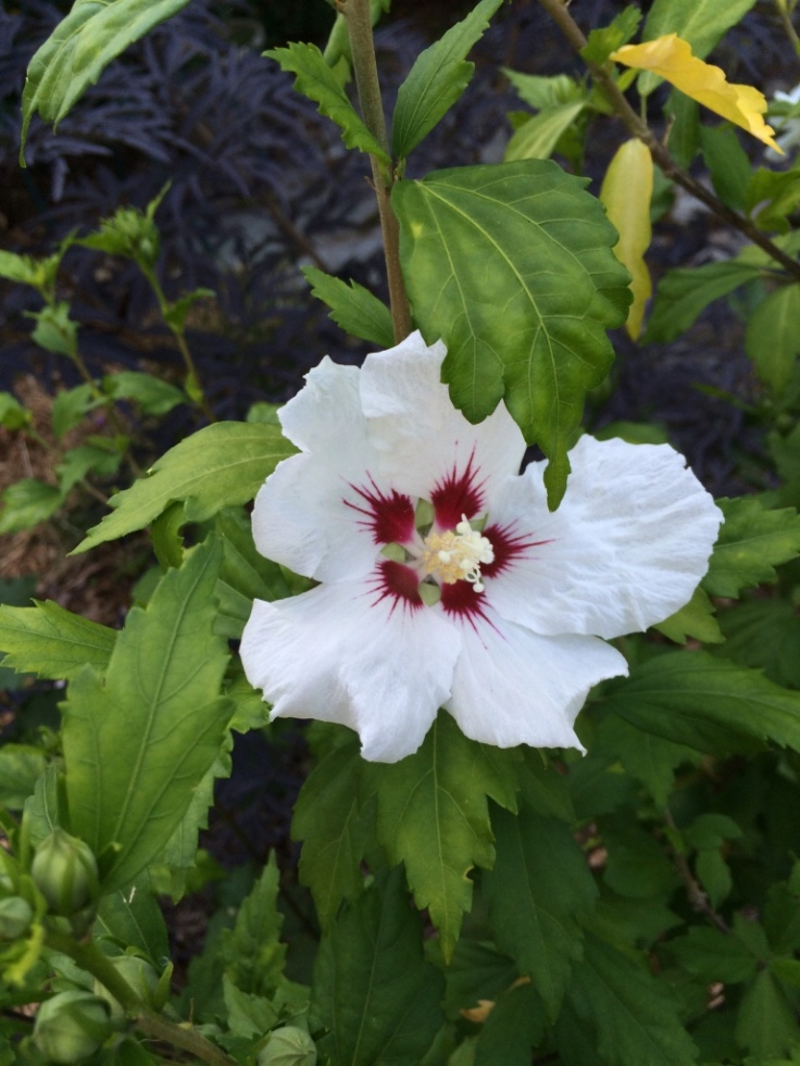 Hibiscus syriacus 'Red Heart'--Hardy Hibiscus aka Rose of Sharon