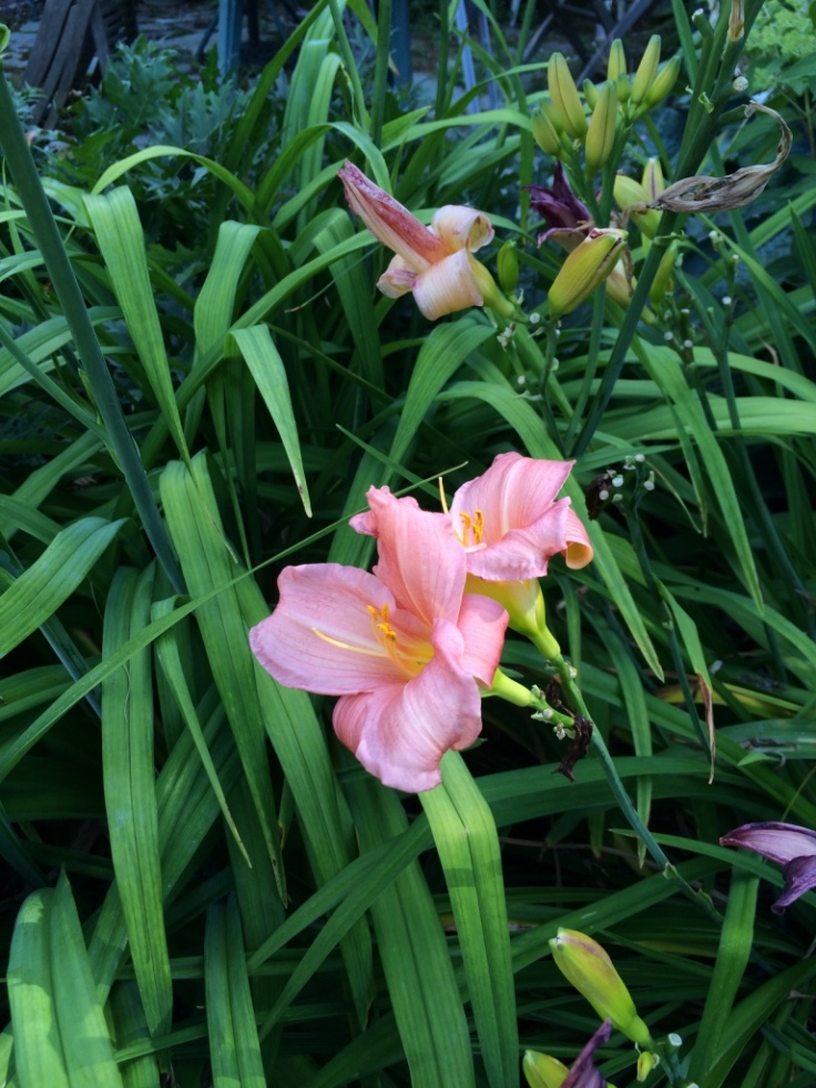 Couldn't resist one more hemerocallis--#8