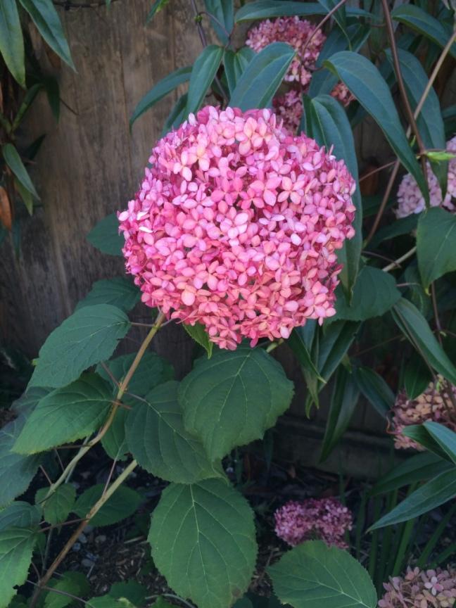 Hydrangea arborecens 'Invincibelle Spirit'