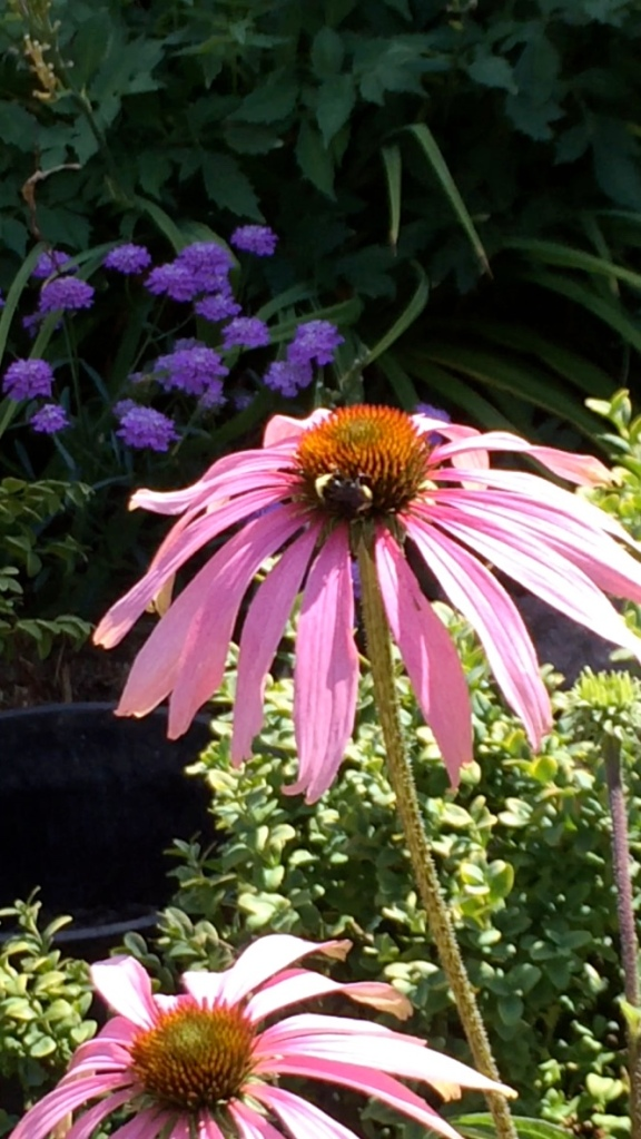 Echinacea purpurea--coneflower