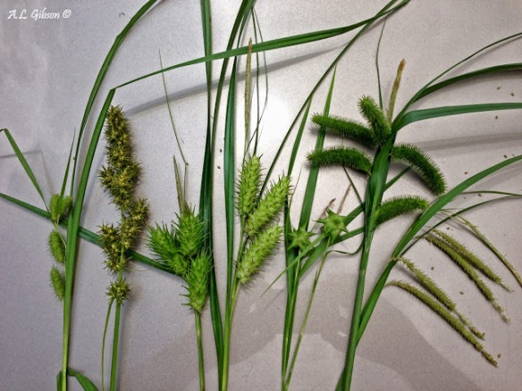 Carex Seed Heads, courtesy of the Buckeye Botanist