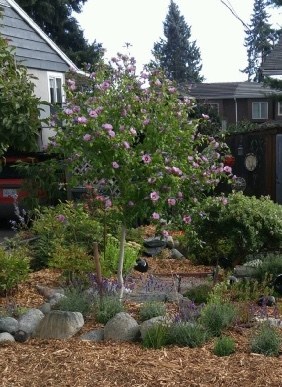 Rose Rosemary Harkness Hibiscus Syriacus Blue Bird Real Life
