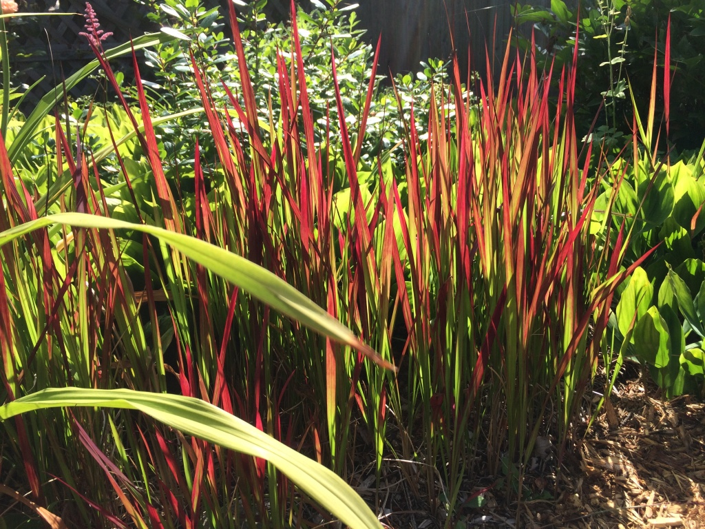 Imperata cylindrica real life garden solutions - Imperata cylindrica red baron ...