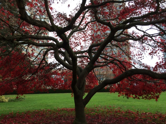 Acer palmatum--unknown variety of Japanese Maple