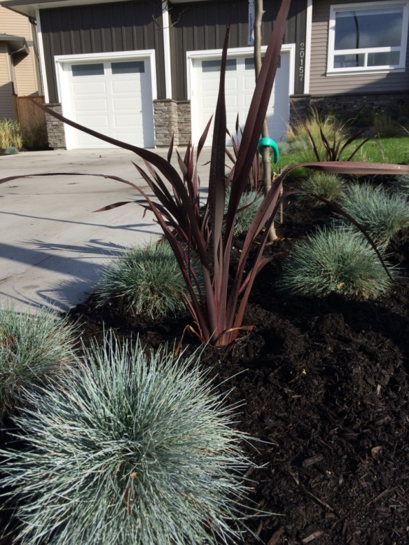 Phormium tenax --New Zealand Flax-- and Festuca glauca--Blue Fescue