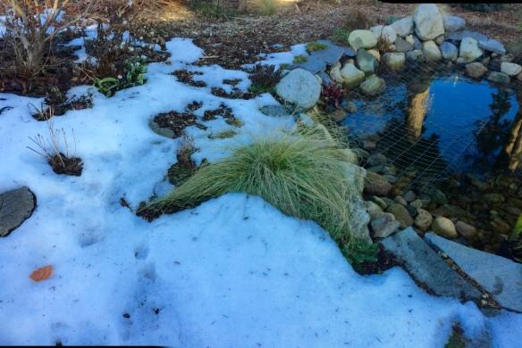 Carex comans 'Frosted Curls' Sedge