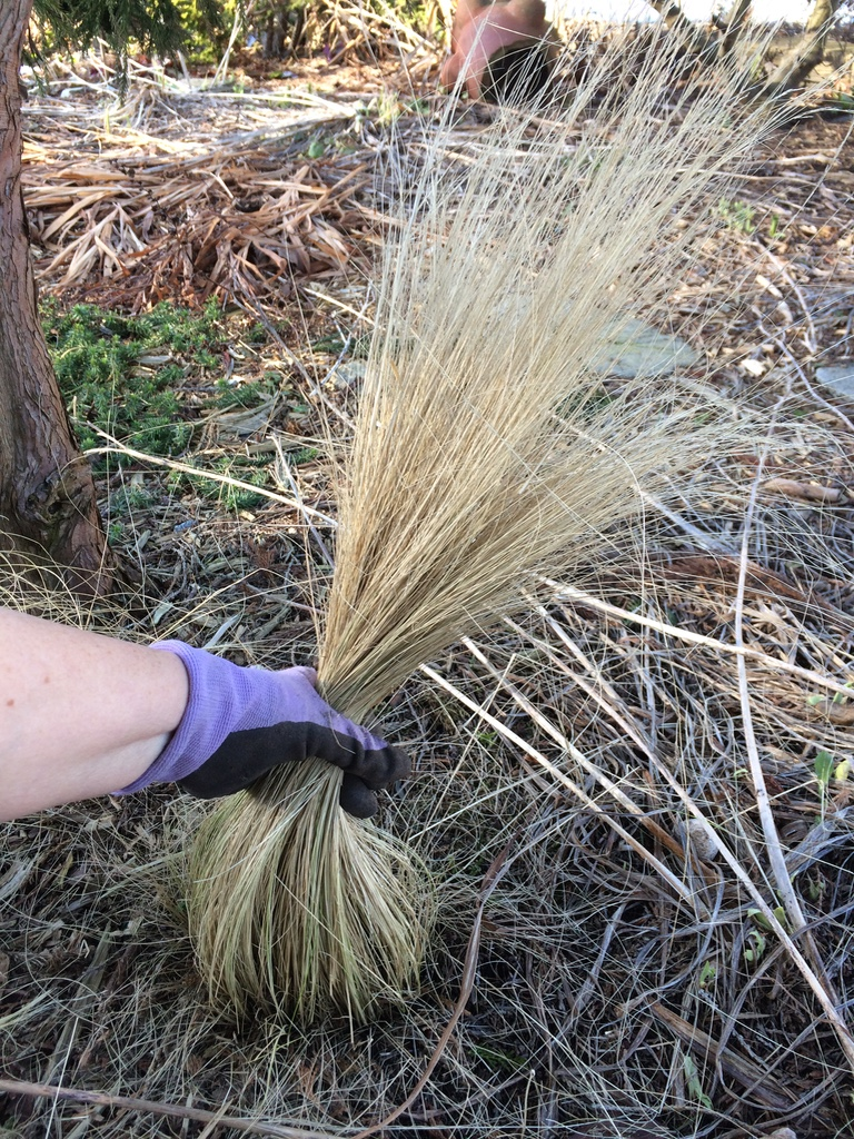 How to prune ornamental grasses real life garden solutions for Ornamental feather grass