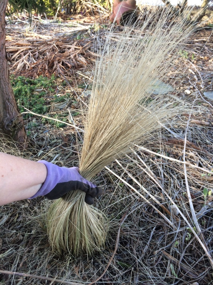 "Mexican Feather Grass, aka ""Ponytail Grass""!"