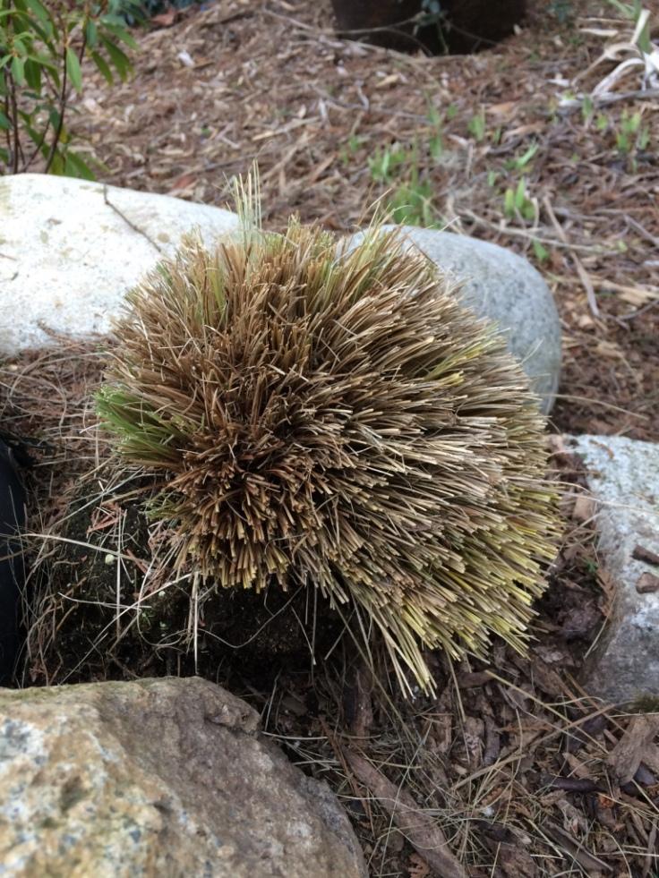 Carex after a haircut.