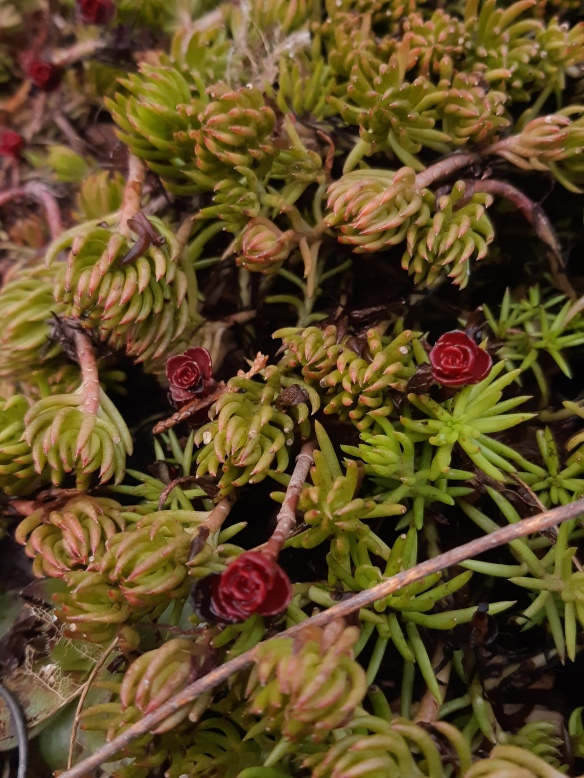 creeping sedums