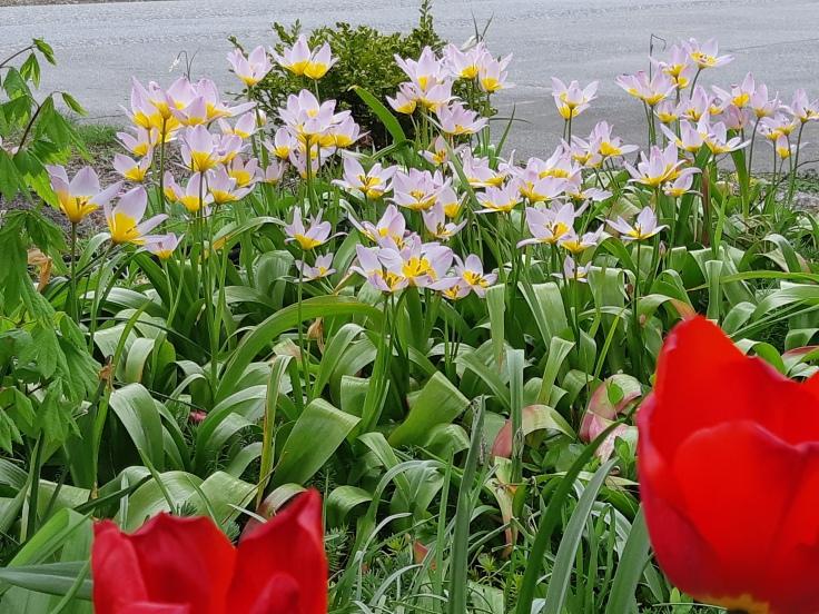 Tulipa saxitalis