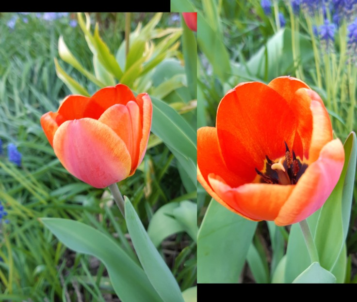 No-Name tulips