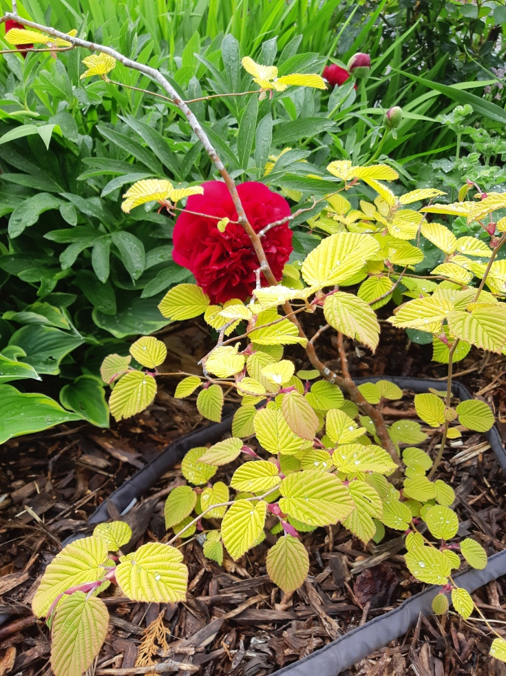 Corylopsis pauciflora (winter Hazel) with one very early peony bloom