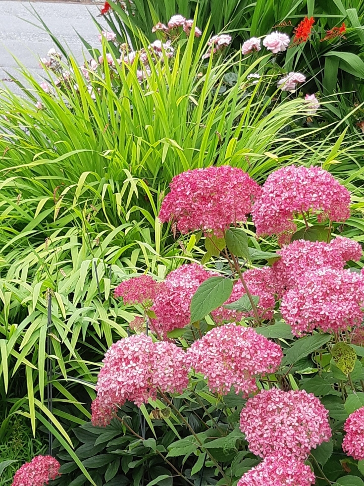 Hydrangea arborecens 'Invincibelle Spirit' with pre-flowering croscosmia 'Emioly Mackenzie' (possibly